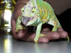 Reptiles de Mexico Buenas Mascotas