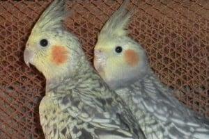 Como escoger Aves Mascotas Para Niños