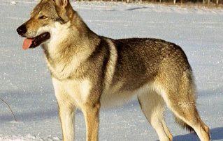 7 Importantes Detalles de la Bella Raza de Perro Lobo Checoslovaco