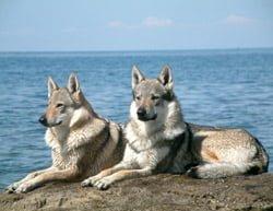 Detalles de la Bella Raza de Perro Lobo Checoslovaco