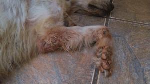 Enfermedad Leishmaniasis en Perros