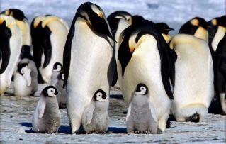 7 Importantes Caracteristicas de Los Pingüinos Bellas Aves!!!