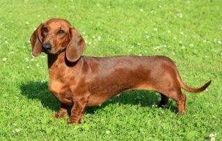 7 Problemas y Complicaciones más Comunes de Salud del Perro Salchicha Mini!!!