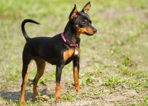 Cuidados de los Perros Pincher Miniatura