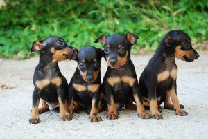 Problemas de Salud en los Perros Pincher Miniatura
