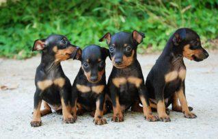 5 Problemas de Salud en los Perros Pincher Miniatura