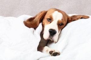 Enfermedades los Caninos dientes
