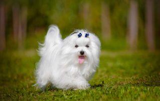 10 Razones  que Determinaran si Desea ser Propietario de un Perro Bichon Maltes Toy!!!