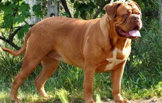 10 Características Resaltantes del Gran Perro Dogo de Burdeos