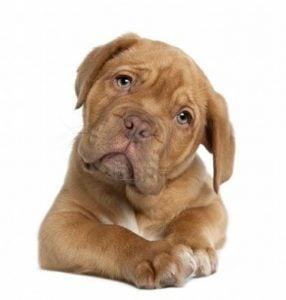 Características del Gran Perro Dogo de Burdeos