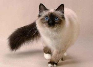 Cuidados de los gatos siameses bebes