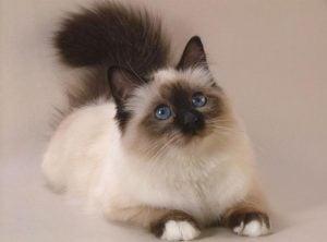 Caracteristicas de los gatos siameses blancos