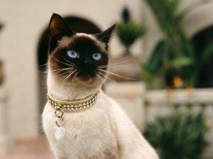 Tipos de gatos siameses