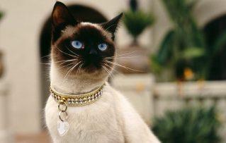 7 Características que Distinguen Objetivamente a los Bellos Gatos Siameses en su Carácter!!!
