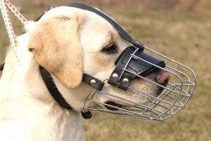 Uso de Un Bozal Para Perros Grandes