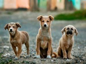 Ventajas de la Esterilización de Perros machos