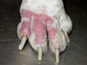 Remedios para las Alergias en Perros salchichas