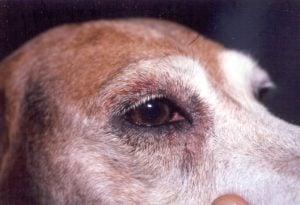 Causas de los hongos en perros boxer