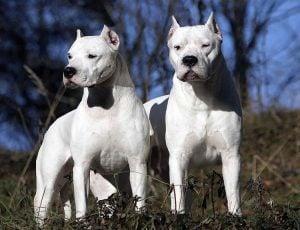 Características Sorprendentes del Dogo Argentino