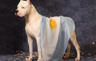 10 Características Sorprendentes del Dogo Argentino