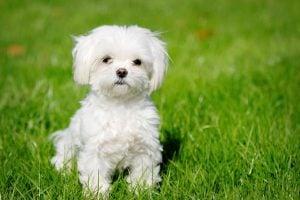 Razas de Perros Miniatura