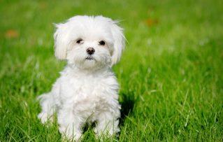 10 Razas de Perros Miniatura Para Disfrute de Toda la Familia