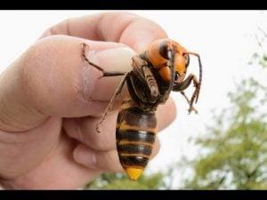 insectos más peligrosos