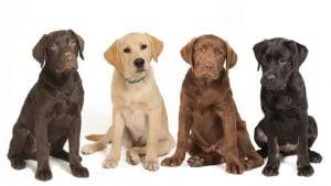 Puntos Resaltantes que Debes Manejar de un Perro Labrador