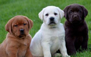 4 Puntos Resaltantes que Debes Manejar de un Perro Labrador