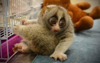 ¿Conoces el Loris Lento Único Mono Nocturno con una Mordedura Toxica?