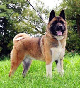 Enfermedades Comunes del Perro American Akita