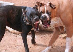 Sabes Cómo Romper o Detener una Pelea de Perros