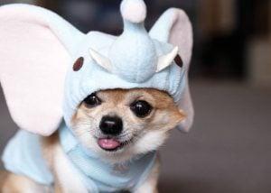 Cosas Relevantes que no Sabías sobre el Perro Chihuahua