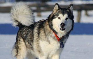 El Gran Perro Malamute Alaska su Temperamento, lo Bueno y lo Malo de Ellos