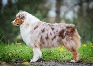Tipos de Australian Shepherd
