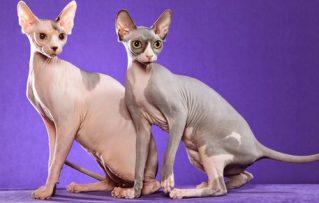 Gato Esfinge o Sphynx: 7 Consejos de Cuidado y Manipulación