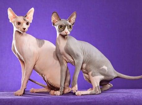 Enfermedades del gato esfinge o Sphynx