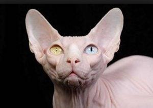 Manipulacion del gato esfinge o Sphynx