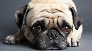 Enfermedades de los perros pug