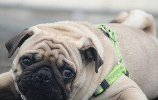 Perros Pug: Características mas Relevantes de Ellos