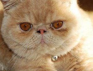 Desventajas de los gatos persas