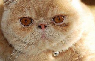 Gatos Persas: 5 Enfermedades Congénitas Muy Comunes en Ellos