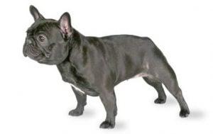 Desventajas de tener un French Bulldog