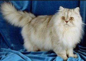 Enfermedades de los gatos persas