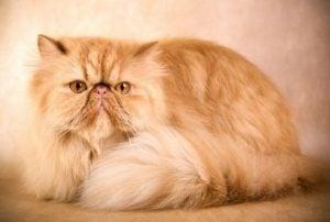 Cuidados de los gatos persas