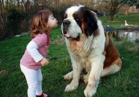 Beneficios de los perros San Bernardo