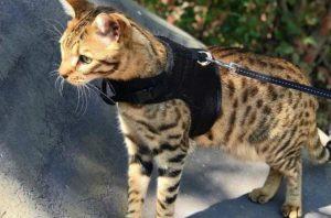 Rasgos fisicos de los gatos savannah