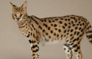 Gatos Savannah: Temperamento y Rasgos Físicos