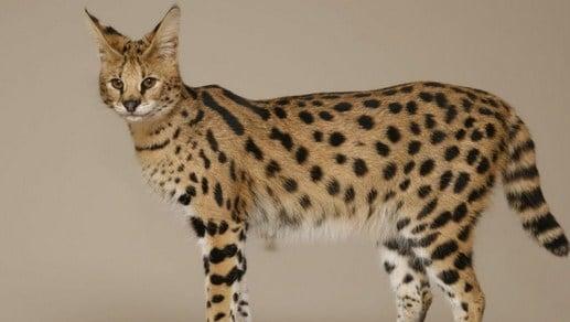 Temperamento de los gatos savannah