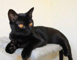 Cuidados del gato Bombay